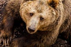 Un oso marrón en el bosque Foto de archivo libre de regalías