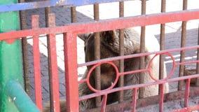 Un oso marrón hermoso en una jaula vive en el parque zoológico almacen de metraje de vídeo
