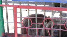 Un oso marrón hermoso en una jaula vive en el parque zoológico metrajes