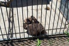 Un oso marrón mira a los visitantes del parque zoológico a través de una reja del hierro Foto de archivo