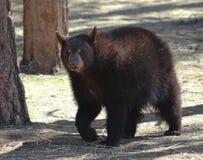 Un oso negro explota los árboles a través del bosque Imágenes de archivo libres de regalías