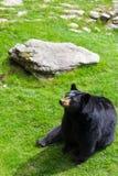 Un oso negro que se sienta en la hierba en la montaña de abuelo fotografía de archivo