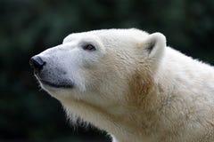 Un oso polar fotografía de archivo libre de regalías