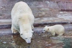 Un oso polar está en el parque zoológico de Moscú Fotos de archivo