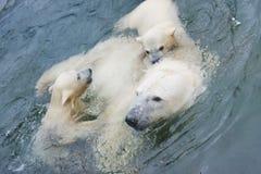 Un oso polar está en el parque zoológico de Moscú Imagen de archivo