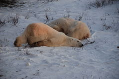Un oso polar joven Imagen de archivo libre de regalías