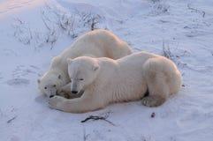 Un oso polar joven con la mama Fotos de archivo
