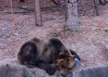 Un oso que duerme en la roca imagenes de archivo