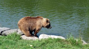Un oso solo sediento cerca del agua Imagen de archivo
