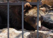 Un oso triste solo Fotos de archivo libres de regalías
