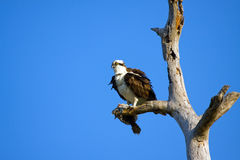 Un Osprey innesta una passera fotografia stock libera da diritti