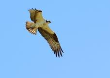 Un Osprey montant dans le ciel Photos stock