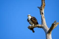 Un Osprey saisit un flet Photographie stock libre de droits