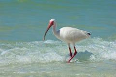 Ibis en la playa Imágenes de archivo libres de regalías