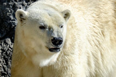 Un ours blanc images stock