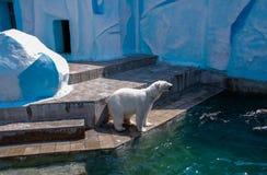Un ours blanc Images libres de droits