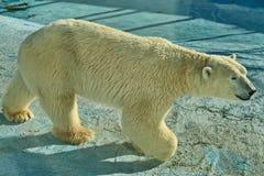 Un ours blanc, un ours du nord, un Lat d'umka Maritimus d'Ursus, le plus grand prédateur de la terre du monde photos stock