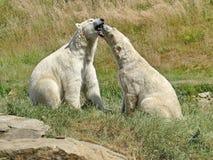 Un ours blanc, un ours du nord, un Lat d'umka Maritimus d'Ursus, le plus grand prédateur de la terre du monde Ressort dans la tou images stock