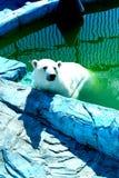 Un ours blanc blanc se baignant traitements de l'eau pour le prédateur photo libre de droits