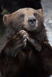 Un ours brun Photo stock