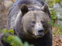 Un ours brun dans la forêt Photographie stock
