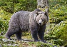Un ours brun dans la forêt Photo stock