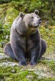 Un ours brun dans la forêt Photos stock