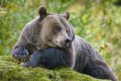 Un ours brun dans la forêt Photo libre de droits