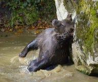 Un ours brun dans la forêt Image libre de droits