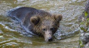 Un ours brun dans la forêt Images stock