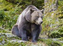 Un ours brun dans la forêt Photos libres de droits