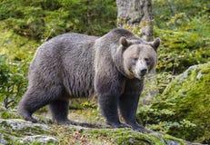 Un ours brun dans la forêt Image stock