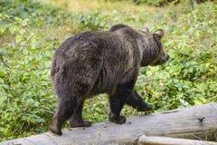 Un ours brun dans la forêt Images libres de droits