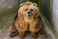 Un ours brun dans le zoo Photographie stock libre de droits