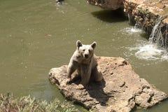 Un ours brun joue près de l'eau avec une feuille de chou dans un jour ensoleillé d'été, animal, ours, brun, grand, dangereux, fou photos libres de droits