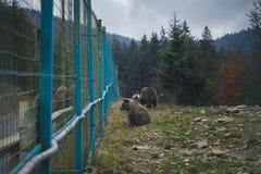Un ours brun se repose derrière une barrière images stock