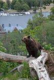 Un ours de Brown examinant le secteur image libre de droits
