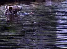 Un ours de natation Photos stock