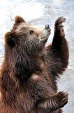 Un ours de sourire avec la pose de bac de teinture Images libres de droits