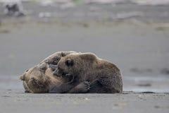 Un ours gris allaitant avec deux petits animaux Photographie stock