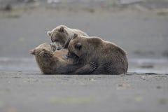 Un ours gris allaitant avec deux petits animaux Photo stock
