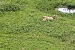 Un ours gris avec des petits animaux Photos libres de droits