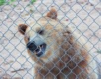 Un ours gris dans une cage de zoo photo stock