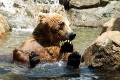 Un ours gris refroidissant dans un courant images stock