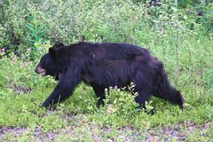 Un ours noir émacié tourmenté par des insectes Image stock