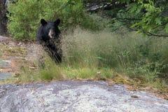 Un ours noir au parc national d'îles de baie géorgienne Photo libre de droits