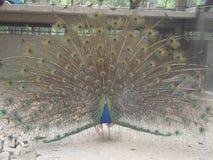 Un pájaro asombroso del azul de pavo real imagenes de archivo
