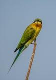 Un pájaro azul del comedor de abeja de la cola Foto de archivo libre de regalías