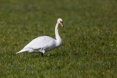 Un pájaro blanco del olor del cygnus del cisne mudo que se coloca en prado verde fotos de archivo libres de regalías
