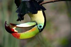 Un pájaro colorido con una fruta en su pico Imagen de archivo